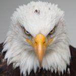 Profile picture of Bald Eagle